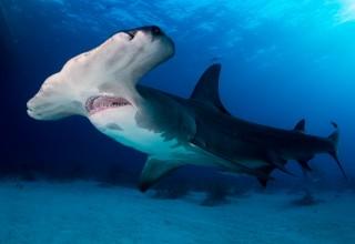 Deep Hammerhead Shark