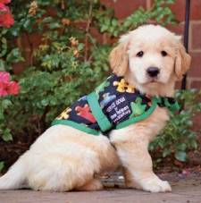 Service Dog-In-Training