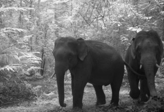 Asian elephants in Royal Belum National Park