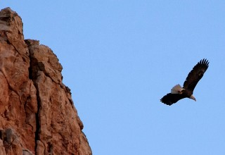 Eagle in Flight Over Verde Canyon Railroad