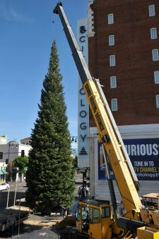 65-foot white fir tree