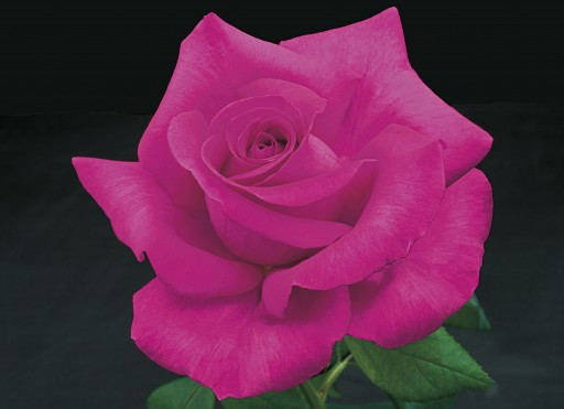 Weeks Roses Introduces Seven New Rose Varieties for Spring 2017