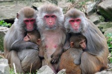 Alpha Genesis Rhesus Monkeys
