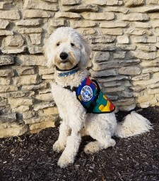 Chelsea, a labradoodle Autism Service Dog, has already received thousands of hours of training