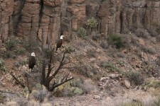 Pair of Bald Eagles Seen From Verde Canyon Railroad