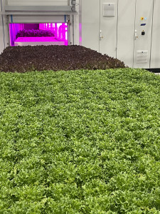 Fresh Leafy Greens at 80 Acres Farms