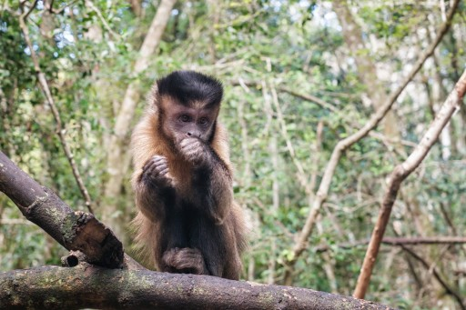 Patty the Miraculous Capuchin Monkey Celebrates 37th Birthday With a Grand Party at the Alpha Genesis Primate Center