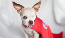 Harley, Puppy Mill Survivor