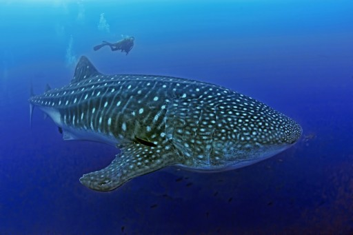 A New Kind of Diving Opportunity With the Whale Shark Expert Jonathan R. Green