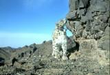 a snow leopard wearing a GPS collar