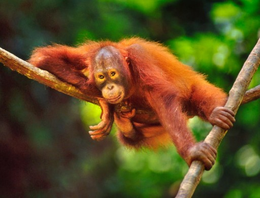 Sabah Wildlife Department Refutes Orangutan Report Findings