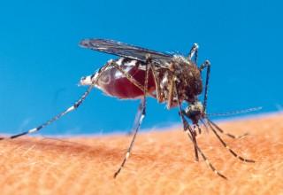 Mosquito Biting Human Skin