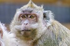Alpha Genesis Macaque