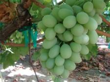 Pristine Grapes