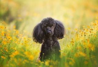 Toy Poodle Portrait