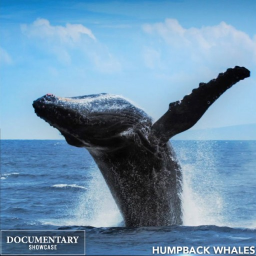 Humpback Whales: The Award-Winning IMAX Film Premiering on Documentary Showcase