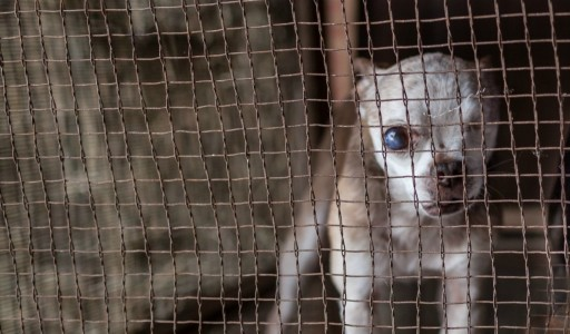 Puppy Mills - Single Most Important Animal Welfare Issue Today