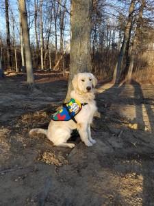 Jay, a golden retriever Autism Service Dog