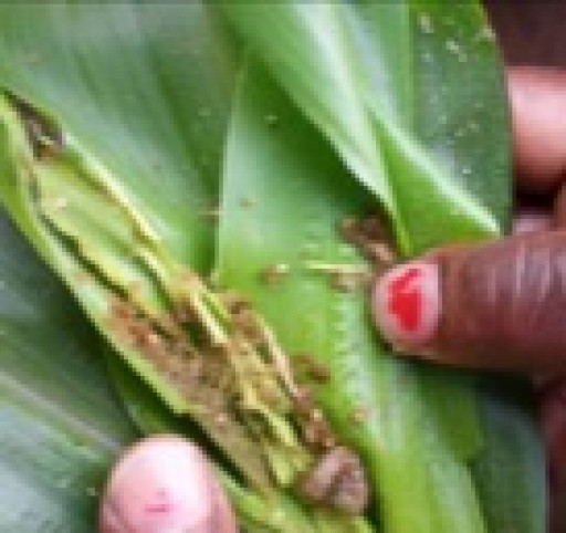 Russell IPM's Bio-Rational Program Managed Fall Army Worm (Spodoptera Frugiperda) in Tanzania Successfully