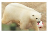 Nika the Bear plays with her FIFA Confederations Cup ball