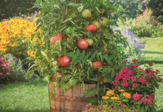 'Atlas' Hybrid Tomato