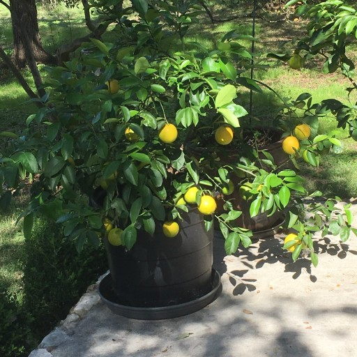 Citrus Scientist Providing Faster-Growing Citrus Trees With Micro-Budding