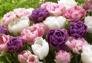 Wedding Gift Collection of tulips