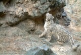 a wild snow leopard