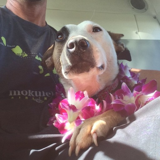 Mokulele Showers Travelers With Flowers on  King Kamehameha Day