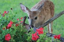 Deer eating garden flowers