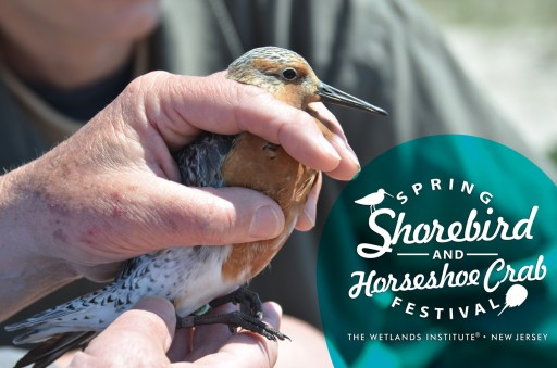 Wetlands Institute Celebrates 4th Annual Spring Shorebird and Horseshoe Crab Festival