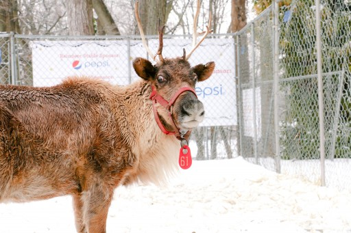 Santa and His Live Reindeer Return to Greenwich