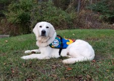 Winter, a Golden Retriever Autism Service Dog