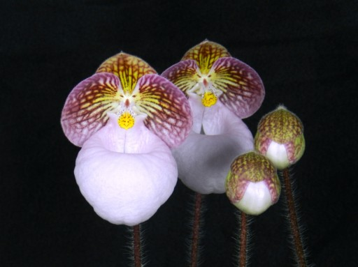 The Huntington Receives National Award for Most Outstanding Orchid