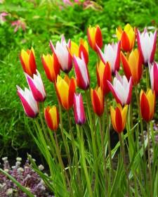 Tulip clusiana Mix from www.burpee.com