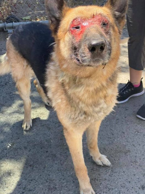 $2500 Reward Offered for Information Leading to Person Who Tortured German Shepherd