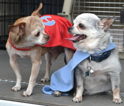 Two Little Chihuahuas Embark on Epic Puppy Mill Rescue