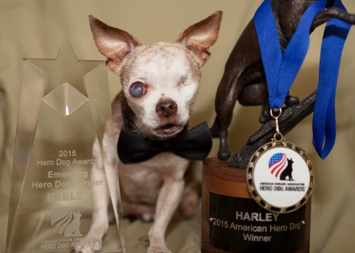 Thousands Will Attend Events This Weekend in Honor of Harley, the Tiny One-Eyed Chihuahua