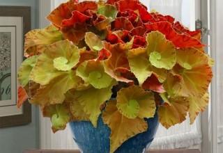 'Martha Stewart' Begonia