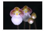 Paphiopedilum micranthum 'Huntington's Perfection' FCC/AOS.  Photo credit: Arthur Pinkers
