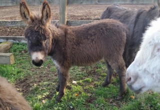 Miniature donkey at Tollen Farm in Oregon's Mt. Hood Territory