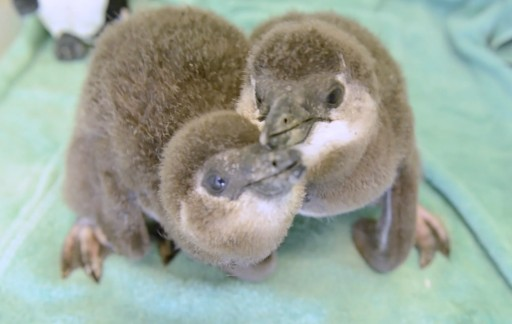 Ripley's Aquarium of the Smokies Celebrates Birth of Baby Penguins