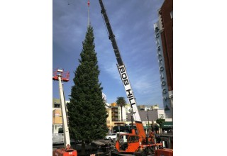 2017 Christmas tree arrives in Hollywood