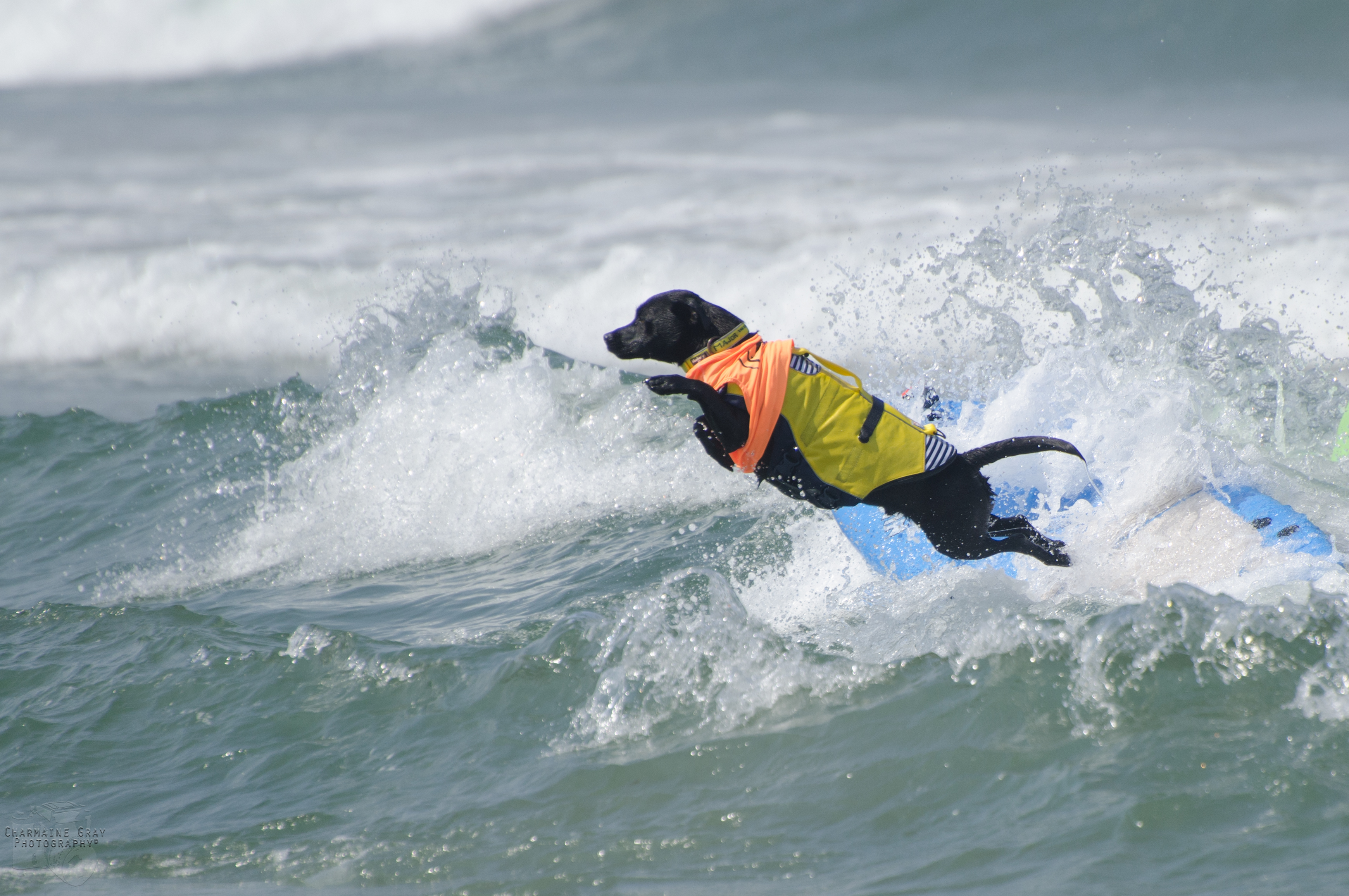Subaru Huntington Beach >> Top Dogs at Unleashed by Petco Imperial Beach Surf Dog ...