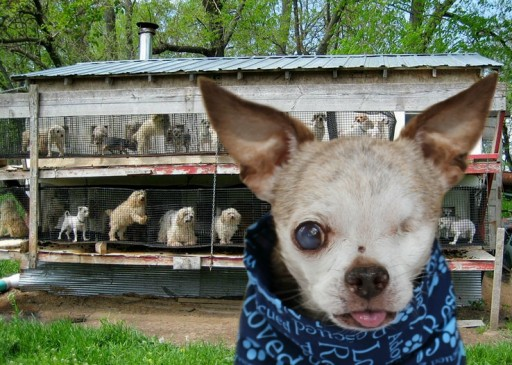 Puppy Mill Dog, Harley, Honored With Special Tribute During 2016 Hero Dog Awards