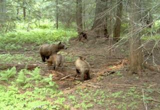 Cabinet-Yaak grizzlies