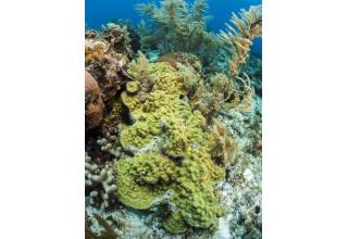 Mustard Hill Coral