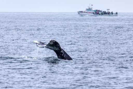 San Diego Sight Seeing Company, FunCat Sailing, Gets Ready for Upcoming Whale Watching Season