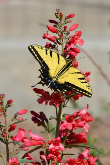 Swallowtail Butterfly on Penstemon