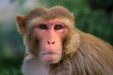 Rhesus macaque at Alpha Genesis